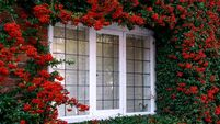 red pyrocantha climbing shrub growing around old english cottage window