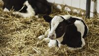 Calf rearing: Guide to getting the basics right