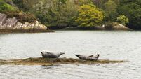 Common Seals in Ireland