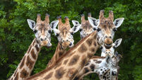 Tall together: How Giraffes benefit from female friendships