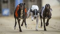 'No serious welfare issues' reported to greyhound body