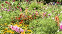 Pretty cottage garden growing a variety of annual and biannual native flowers in Ireland