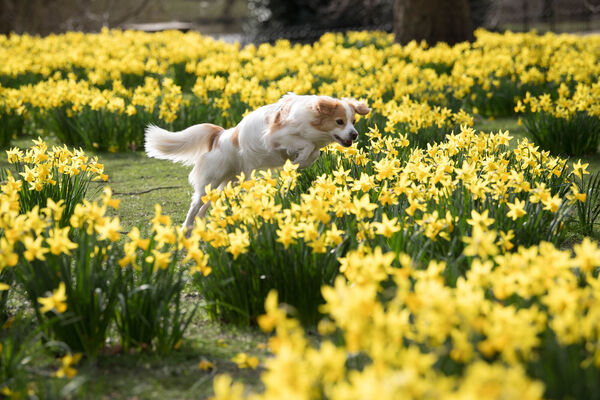 A dog running amok in daffodils.