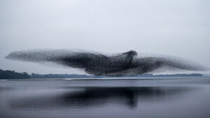 'Phenomenal' murmuration of starlings captured in Lough Ennell