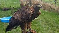 Owner of golden eagle appeals for help as bird goes missing in Wicklow