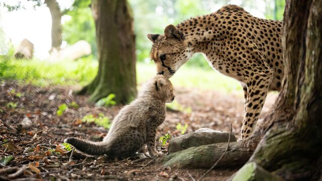 <p>Northern cheetah Nimpy with one of her three cubs photographed in August last year in the Cheetah Hill area of Fota Wildlife Park in Co Cork which is now under threat of closure. Pic: Darragh Kane</p>