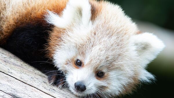 Twin red panda cubs were born at Fota last year.