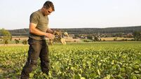 farmer stands in his field, looks at his withered sugar beets