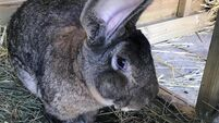 'World's biggest rabbit' stolen from home in England
