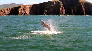 Friendly dolphin spotted off Cork coast isn't Fungie, researchers say