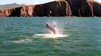 FILE PHOTO Dingle Sea Safari has said that reports of Fungie being missing are not true, as the popular dolphin was spotted yest