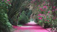 Peter Dowdall: Rhododendrons are at their best right now