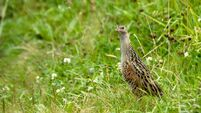 Corncrake at summer meadow