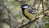 great tit with grub