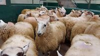 Cooling-off after historic high lamb prices