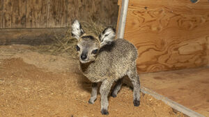 Florida zoo welcomes baby klipspringer antelope