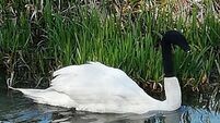 Swan with sock pulled over head 'could have died'