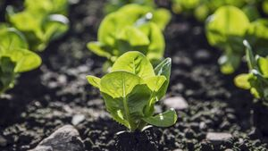 Parasite outbreak in baby salad leaves left 40 people ill