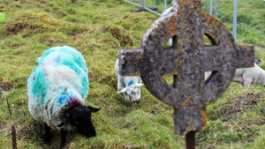 Graze diggers: Sheep uncover historic burial plots in Cork