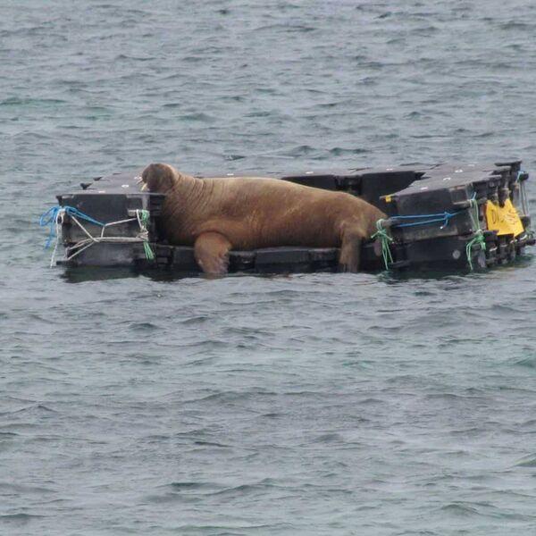 Wally descansando sobre el pontón flotante en St Mary's Harbour en las Islas Sorlingas.  Un pontón similar está listo para ser desplegado aquí tras los recientes avistamientos de Wally of West Cork.  Imagen: British Divers Marine Life Rescue