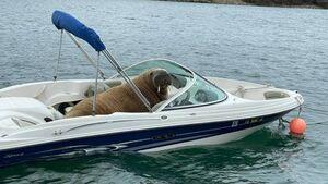 Nuevas imágenes muestran a Wally la morsa relajándose en un bote pequeño en Crookhaven