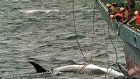 International Court of Justice orders halt on Japanese whaling