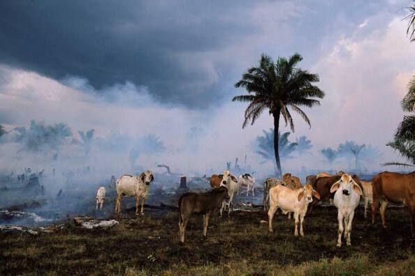 Limpando a queima de pastagens de gado da floresta amazônica no estado de Rondônia, Brasil.  Foto: Michael Nichols / National Geographic / Getty Images