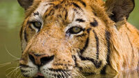 Hungry tiger kills seven in India