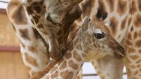 Baby giraffes at Fota need names, but only Irish ones