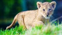 Dublin Zoo welcomes arrival of Asian lion cub