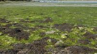 Duo from Rathlin Island target Japan's open seaweed market