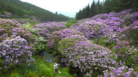 Walking festival to celebrate rhododendron