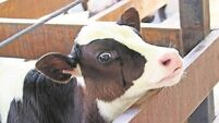 Seaweed add to cow's diet could cut emission levels