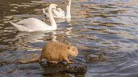 Coypu discovered in Irish rivers: Sadly, this pest must be eradicated