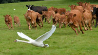 PICS: Swan survives battle with cattle after bird-brained decision
