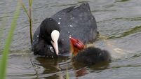 The difference between Moorhens and Coots