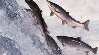 Council risks EU fines for not building 'fish path' to aid migrating salmon at River Blackwater