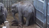 Trumpeting welcome for Dublin Zoo's baby elephant