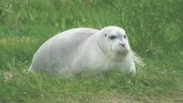 Bearded seal has thrived in Courtmacsherry Bay for 2 years