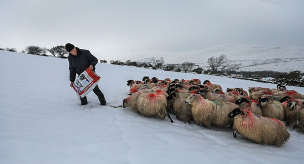 Davy Leane, sheep farmer, MacGillycuddy's Reeks, Co Kerry, had brought his ewes to lower ground ahead of Storm Emma. Picture: Valerie O'Sullivan