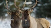 For elk, fortune favours the more cautious