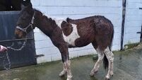 ISPCA seize a pony tied to electricity pole in Tipperary