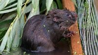 Water rat beloved in literature actually a vole