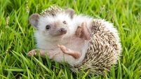 Hedgehog in the garden , African pygmy hedgehog