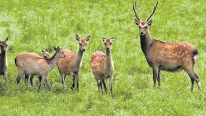 Too many red deer in Killarney