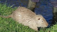 DNA experts join bid to tackle coypus in Cork
