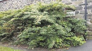 400 sites in Cork 'seriously infested' with knotweed