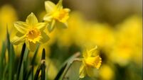 Irish Cancer Society cancels all Daffodil Day street collections due to coronavirus
