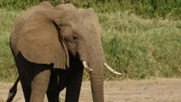 Elephant numbers likely to decline