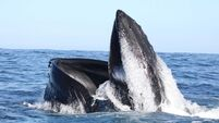 Two humpback whales return to Kerry after 20 years